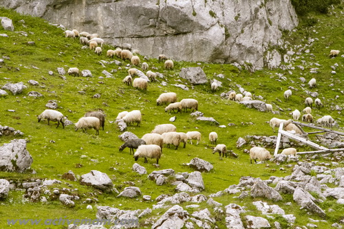 черногория,дурмитор,отара овец