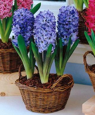 blue-hyacinth_новый размер