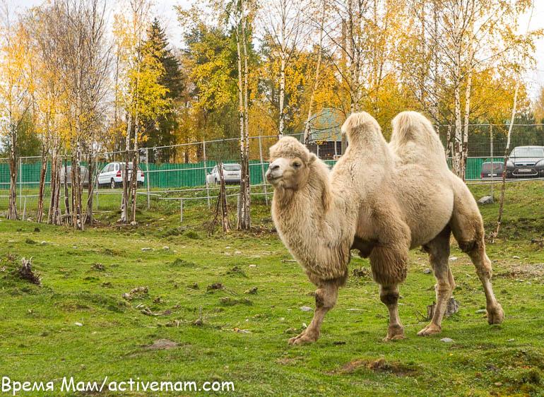 верблюд зоогринпарк