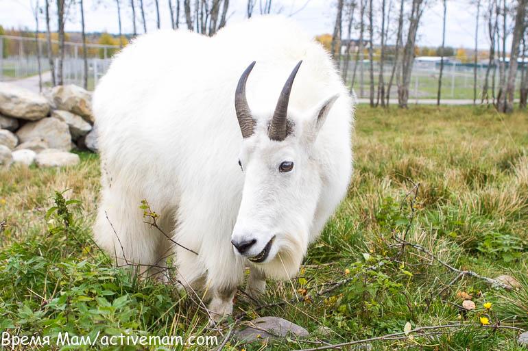 снежная коза зоогринпарк