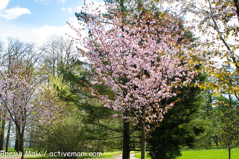 сакуры в ботаническом саду